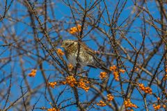 Thrush Fieldfare eating berries of sea-buckthorn Stock Image
