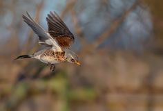 Sunny Thrush Fieldfare fast diving down with stretched wings stock photography