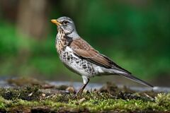 Thrush the Fieldfare near the water in spring against the background of greenery