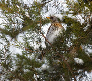 Thrush Fieldfare on a tree in the forest. The Thrush Fieldfare on a tree in the forest Royalty Free Stock Photos