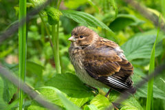 Thrush fledgling. Chick of forest bird Stock Photography