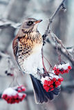 Thrush on the frozen branch of Rowan. Bird pied thrush hanging on a branch with ripe juicy red frozen Rowan winter in white fluffy snow on new year's day Royalty Free Stock Image