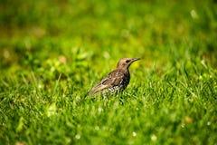 Thrush on grass birds nature close up macro. Ecology bokeh Royalty Free Stock Photo