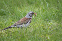 Thrush in the grass. Thrush found a worm in the grass, a spring day Royalty Free Stock Photo