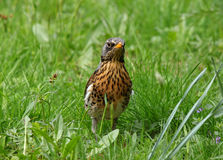 Thrush in grass Royalty Free Stock Images
