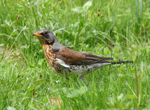 Thrush in green grass Royalty Free Stock Image
