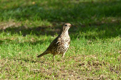 Thrush on the ground Royalty Free Stock Photos