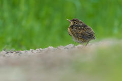 Thrush is heated to the morning sun Royalty Free Stock Photos