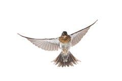 Thrush. Isolated flying thrush on a white background royalty free stock photo