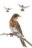Thrush. Isolated flying thrush on a white background Royalty Free Stock Photos