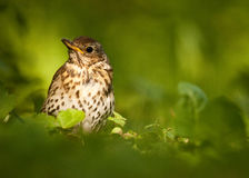 Thrush Stock Photos