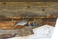 Thrush on nest. Thrush on the nest in summer Royalty Free Stock Photography