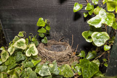 Thrush nest. Thrush nest with young in a garden Royalty Free Stock Photography