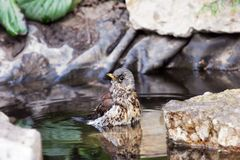 Thrush neststling Royalty Free Stock Photography