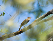 Thrush Nightingale. Singing Thrush Nightingale on the spring branch Stock Image