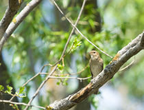 Thrush Nightingale. Singing Thrush Nightingale on the spring branch Royalty Free Stock Photography