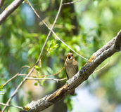 Thrush Nightingale. Singing Thrush Nightingale on the spring branch Royalty Free Stock Photos