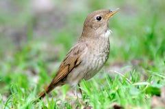 Thrush Nightingale in grass Stock Photography