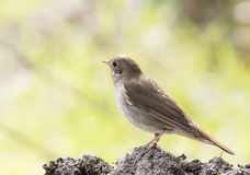 Thrush Nightingale. Hanging out in a dumping ground Royalty Free Stock Image