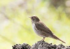 Thrush Nightingale Royalty Free Stock Image