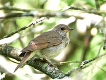 Thrush Nightingale (Luscinia luscinia) Royalty Free Stock Photography