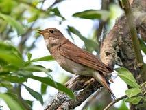 Thrush Nightingale (Luscinia luscinia) Royalty Free Stock Images