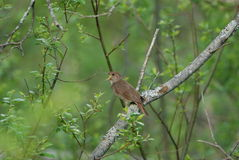 Thrush Nightingale. Singing in spring forest Stock Photo