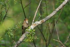 Thrush nightingale singing. Very secretive thrush nightingale singing Royalty Free Stock Photo