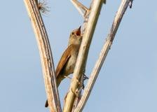 Thrush Nightingale sings Stock Photos