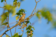 Thrush Nightingale sings Stock Image