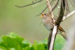 Thrush Nightingale sings Stock Photography