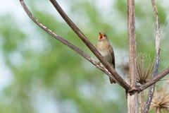 Thrush Nightingale sings Royalty Free Stock Images