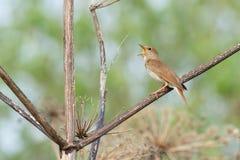 Thrush Nightingale sings Stock Photo