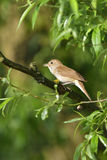 Thrush nightingale. Sprosser singing on a tree in the morning Royalty Free Stock Photo
