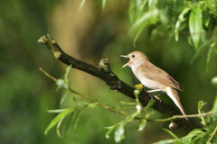 Thrush nightingale Stock Photography