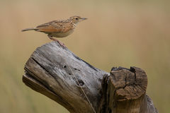 Thrush perched on a tree stump Royalty Free Stock Photo