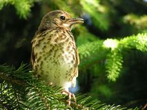 Thrush on pine Royalty Free Stock Photo