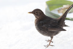 Thrush portrait on snow close up. Blackbird female portrait in profile close up Royalty Free Stock Photography
