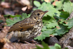 Thrush. Portrait taken with telephoto lens in the forest Stock Photography