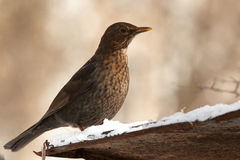 Thrush on roof slope Royalty Free Stock Image