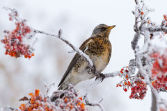 Thrush siting on a rowan tree. Thrush perched on a rowan tree in winter Stock Photos