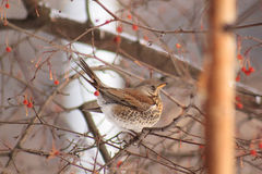 The thrush sits on the branch tree and eating an crab apples. Beautiful winter forest Royalty Free Stock Photography
