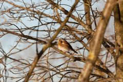 Thrush sits on a mountain ash branch. The bird Thrush sits on a mountain ash branch in winter day Royalty Free Stock Images
