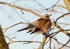 Thrush sits on a mountain ash branch. The bird Thrush sits on a mountain ash branch in winter day Royalty Free Stock Photos