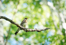 Thrush sitting on a birch tree branch in the forest Royalty Free Stock Photography