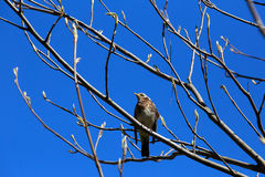 Thrush sitting on a branch against the blue sky. royalty free stock photography