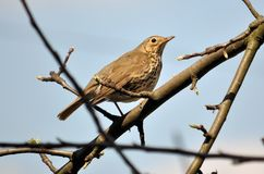 Thrush sitting on a branch of a tree. On the background of the sky Royalty Free Stock Photography