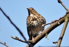 Thrush sitting on a branch of a tree. On the background of the sky Royalty Free Stock Photos