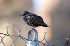 Thrush. Royalty Free Stock Images