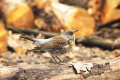 Thrush sitting on a Park tree on the background o Stock Image